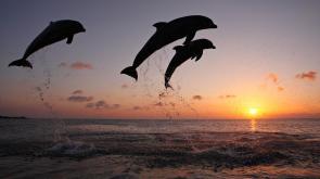delfines-saltando